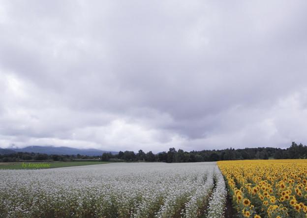 北の蕎麦畑