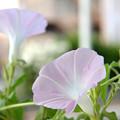 写真: 宇宙あさがお開花