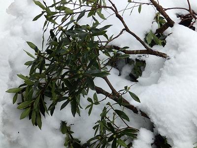 1月15日「雪害沈丁花」