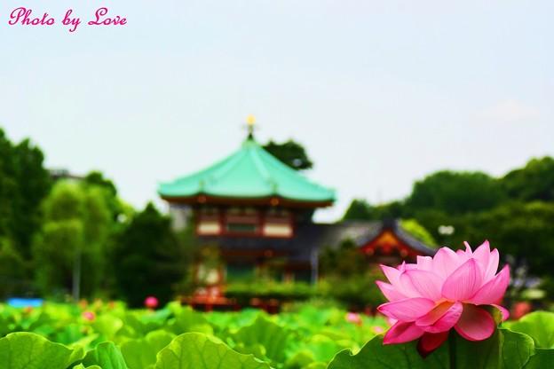 蓮の花と弁天堂