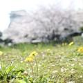 写真: 桜の下のたんぽぽ