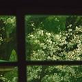 Photos: 古ガラスから見る桜