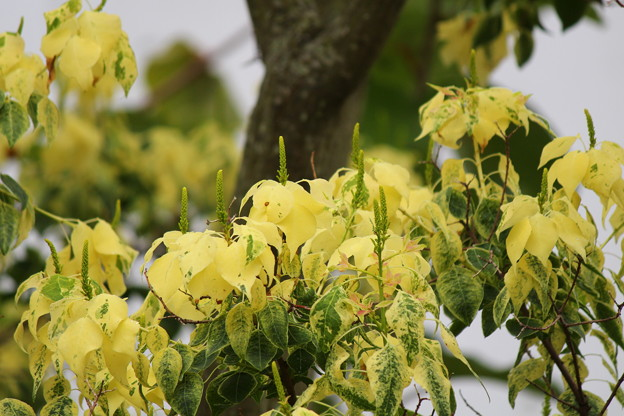 ナンキンハゼ -花穂 (トウダイグサ科)