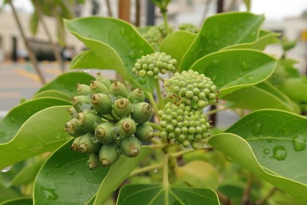 カクレミノ -花序と果実