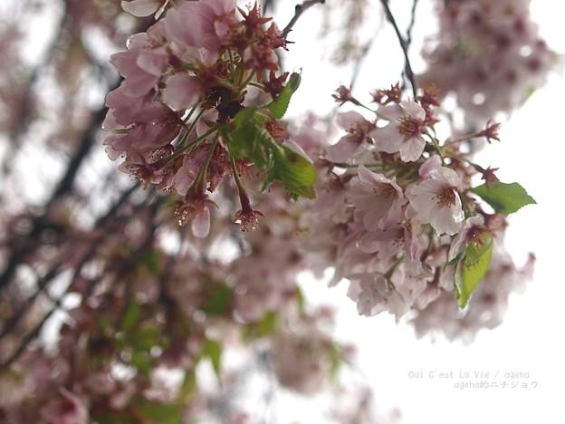 見納め桜。