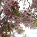写真: 見納め桜。