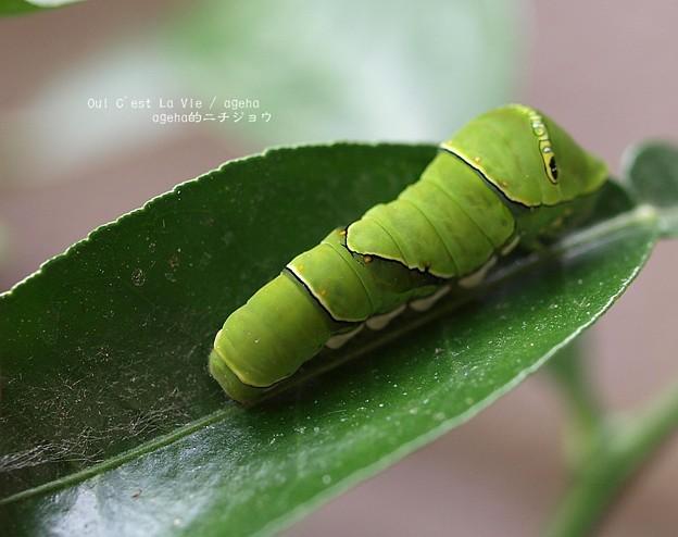 クロシマ。(アゲハ終齢幼虫)
