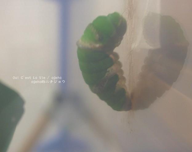 前蛹。(ナガサキアゲハ)