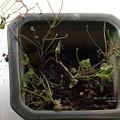 Photos: 12頭の王蟲が住んでいる。(ヤマトシジミ飼育)