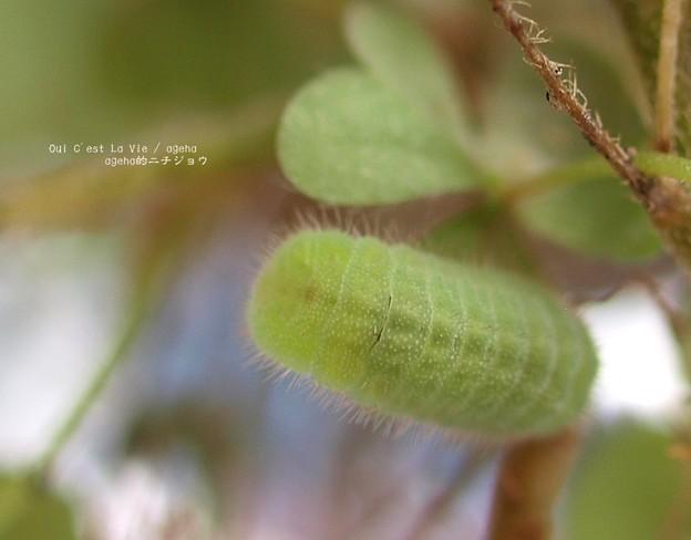 緑のワラジっぽいけど(ヤマトシジミ飼育)