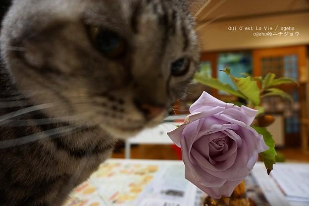 バラが咲いたよ。(ブルームーン)