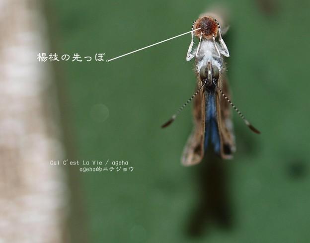 シジミちゃんと楊枝のアタマ。(ヤマトシジミ飼育)