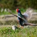 写真: 雉のアピール