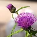 写真: アザミの花