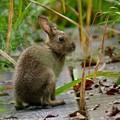 写真: 野ウサギ