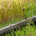 写真: キセキレイ 3羽
