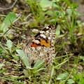 写真: ヒメアカタテハの産卵