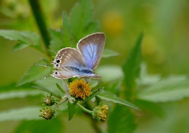 ツバメシジミ蝶