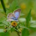 写真: ツバメシジミ蝶