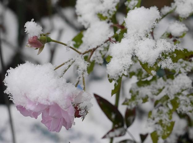 冷たそうなバラ