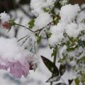 写真: 冷たそうなバラ