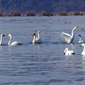 写真: 湖北の白鳥
