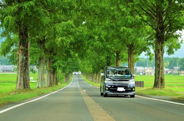 写真: メタセコイアの並木を行く