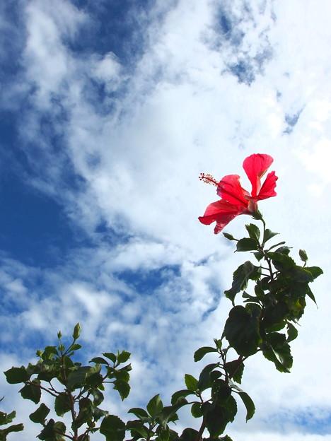 真冬でもハイビスカスさんは咲いていますです^^