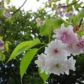 Photos: 鹽竈桜 満開