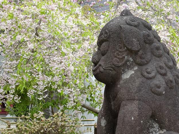 しだれ桜と狛犬さん