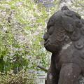 Photos: しだれ桜と狛犬さん