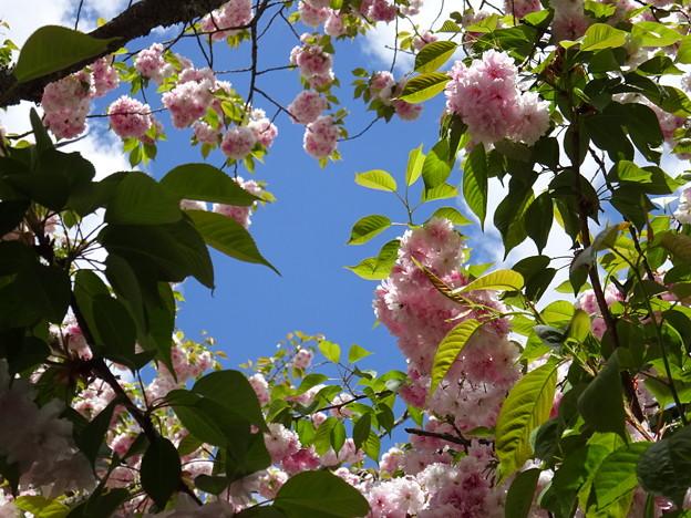 鹽竈桜と青い空
