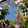 Photos: 鹽竈桜と青い空
