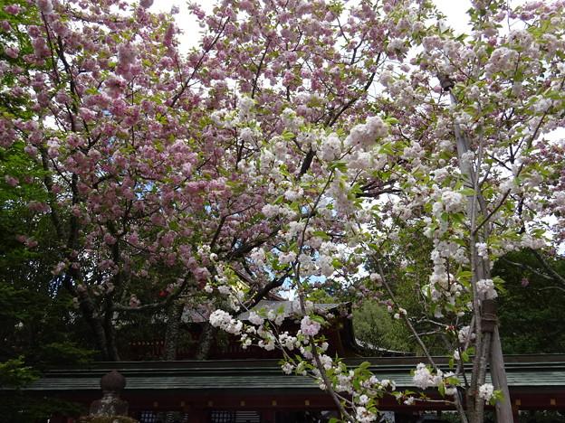 鹽竈神社境内の鹽竈桜