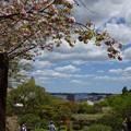 Photos: 鹽竈桜