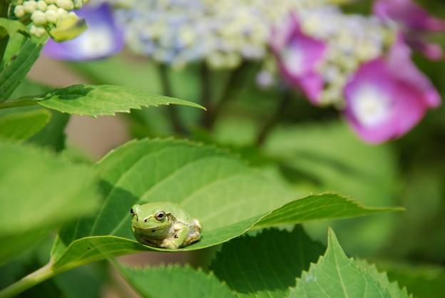 Photos: 山神社の蛙と紫陽花