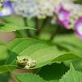 山神社の蛙と紫陽花