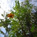 写真: 秋空にキバナコスモス