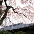 写真: 枝垂れ桜-1
