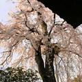写真: 枝垂れ桜-2