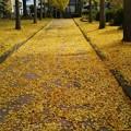 写真: 黄色いじゅうたん敷き詰めて~