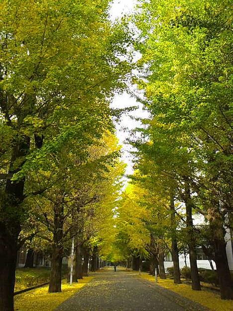 銀杏並木、黄色くなったけど、昨日の雨で落ちてしまったな