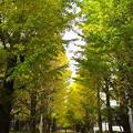 写真: 銀杏並木、黄色くなったけど、昨日の雨で落ちてしまったな