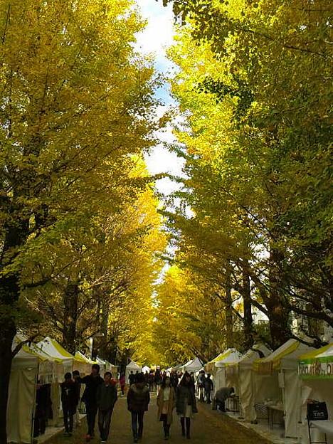 銀杏並木全体が黄色くなったら学園祭ですね、楽しそうだな