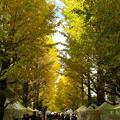 写真: 銀杏並木全体が黄色くなったら学園祭ですね、楽しそうだな