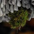 写真: ミソサザイ巣作り