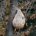 写真: スズメバチの巣