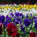 写真: 冬花壇
