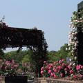 写真: バラ園・・エコパーク水俣