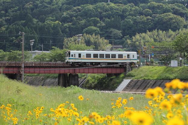 金鶏菊 (きんけいぎく)の向こうおれんじ鉄道